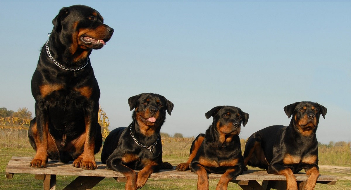 Three Rottweiler puppies with their mother