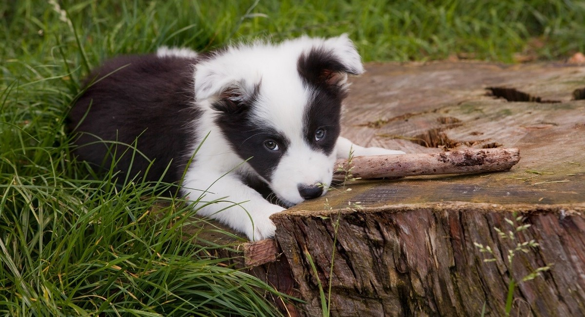 Border Collie puppy sitting against tree stump with stick in mouth