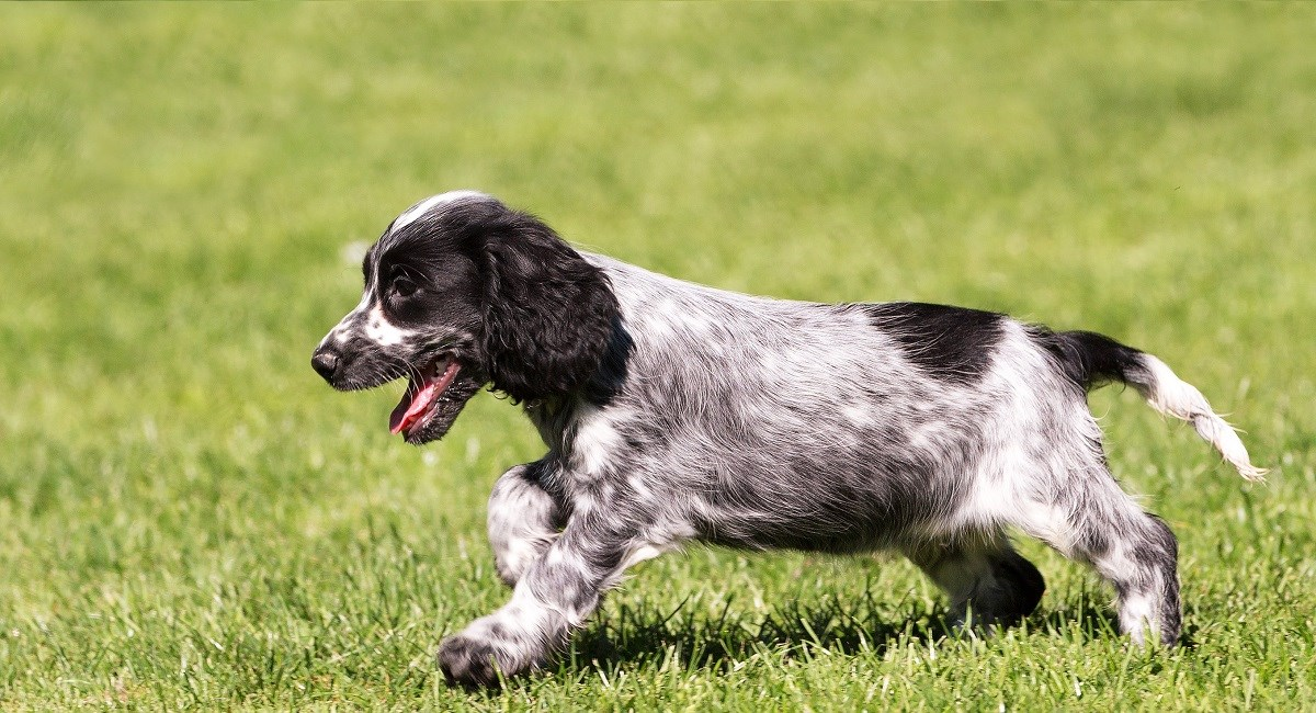 Black and white roan Cocker Spaniel puppy running across grass