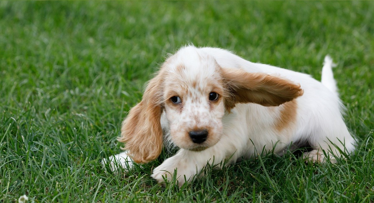 Orange roan Cocker Spaniel puppy with huge floppy ears