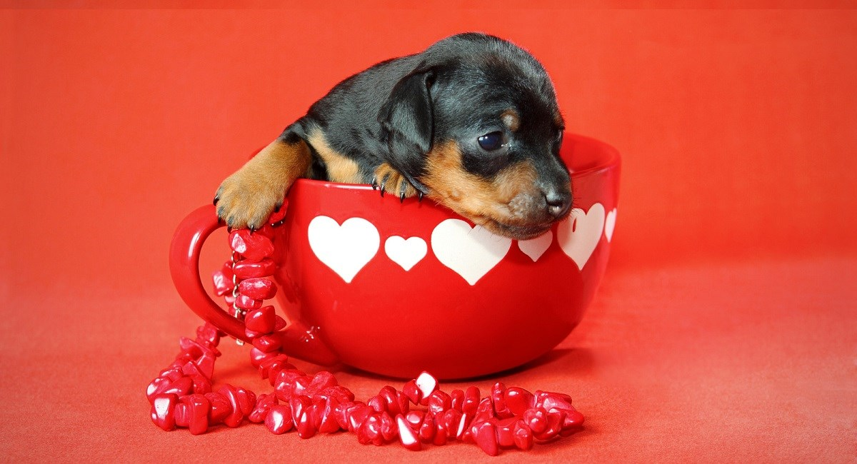 Tiny Doberman puppy sit in a cup with hearts