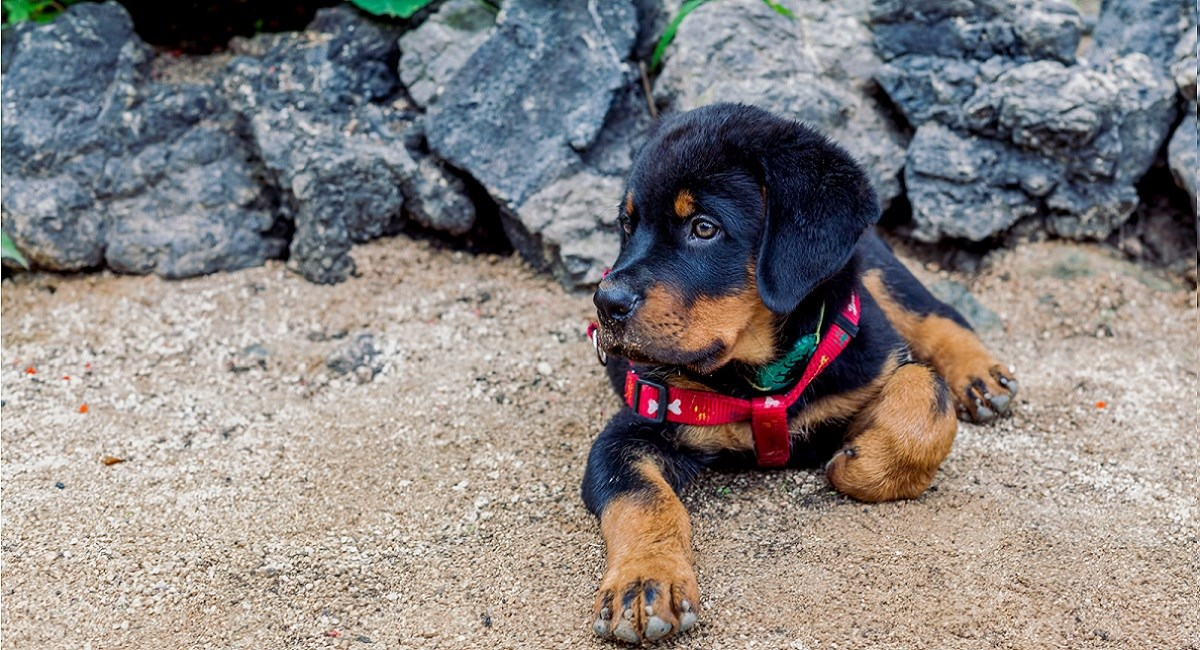 Rottweiler puppy sitting in sand