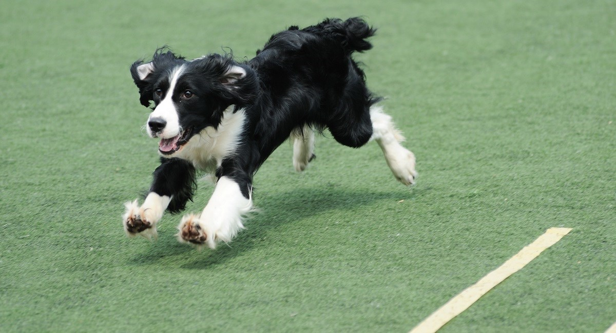 Border Collie puppy running across field