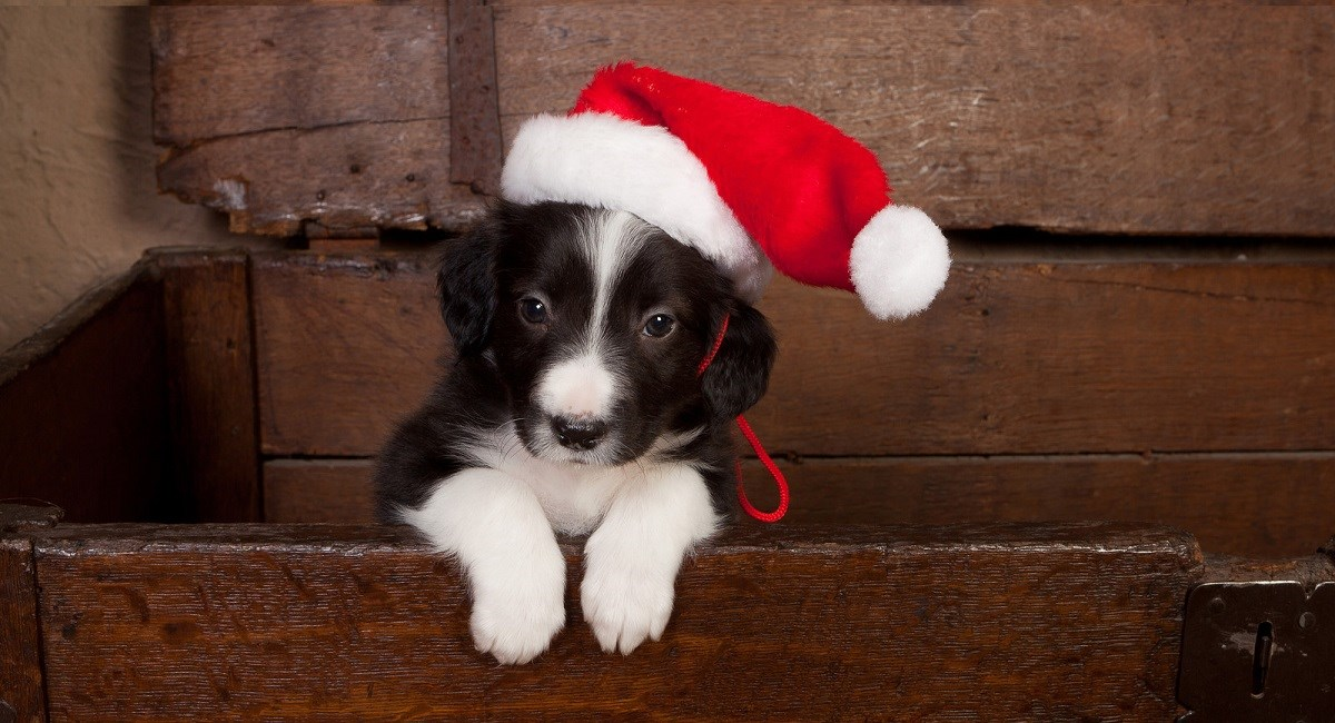 Border Collie puppy sat in wooden box with Christmas hat