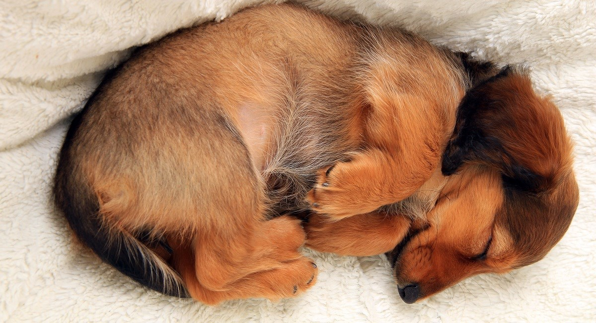 Long haired Dachshund puppy sleeping