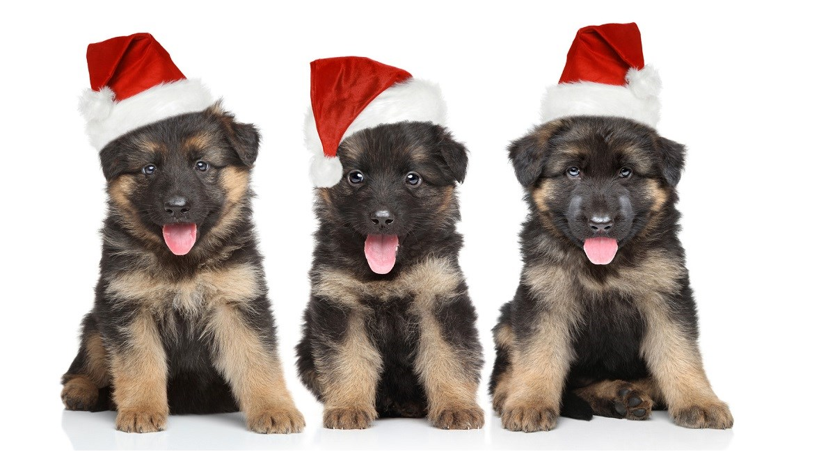 GSD puppies wearing xmas hats