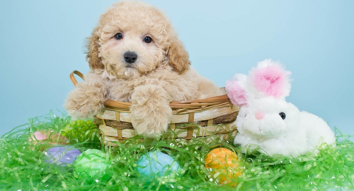 Cream Poodle puppy in Easter basket