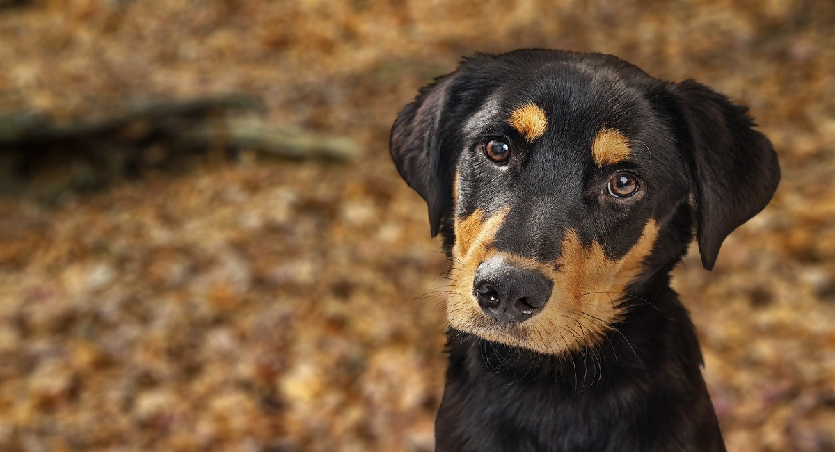 Rottweiler puppy posing for photo with beautiful eyes