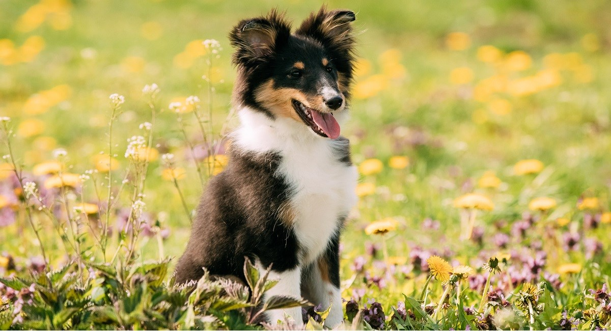 Black and Tan Sheltie in meadow