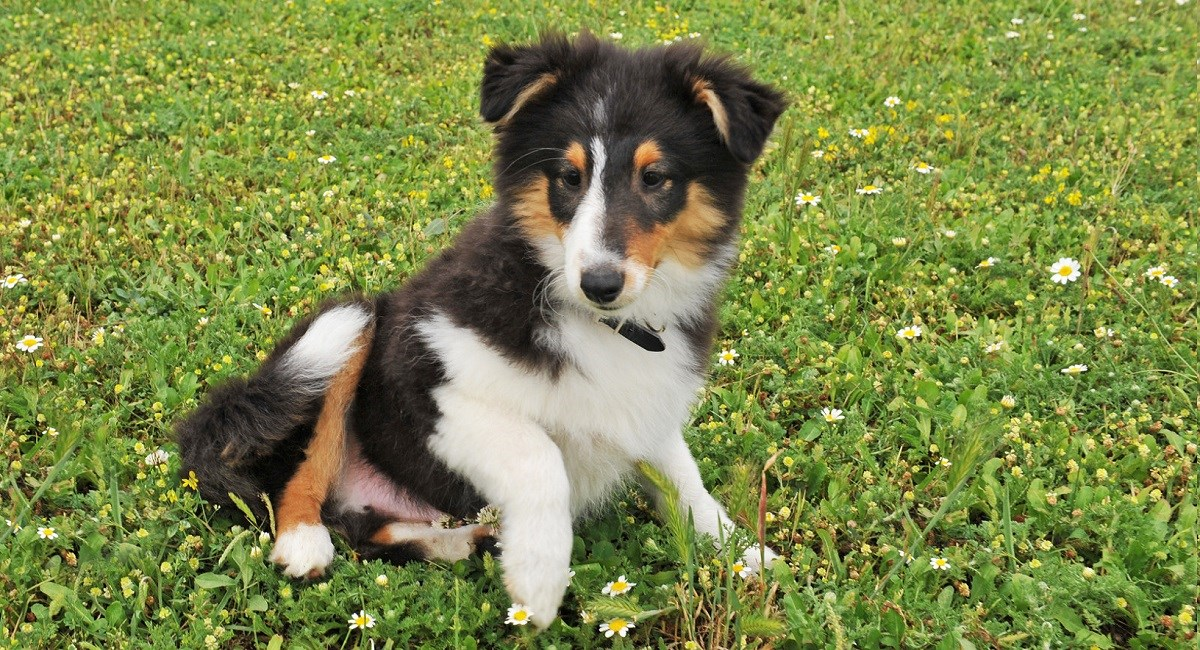Tri-color Sheltie puppy waiting for owner