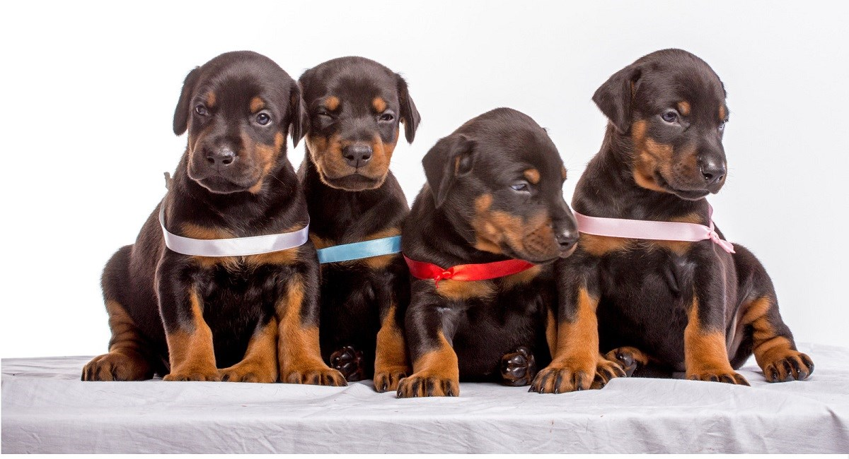 Four Doberman Pinscher puppies in a row