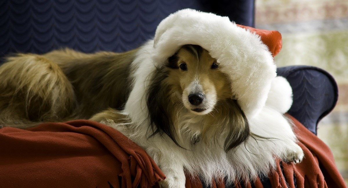Sable Sheltie with Santa Claus hat