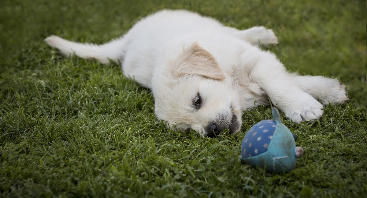 Golden Retriever puppy sleeping beside a ball