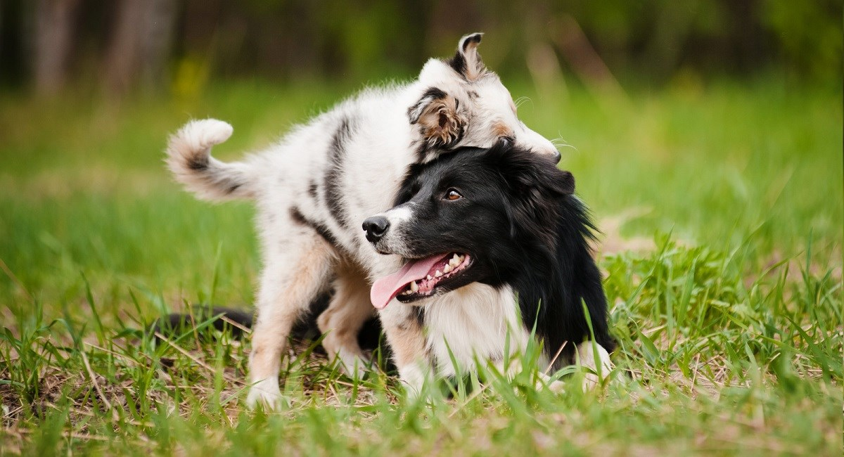 Pesky Border Collie puppy bothers his dad