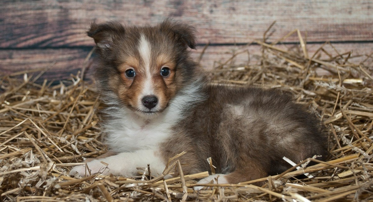 Sable Sheltie lying on bed of hay