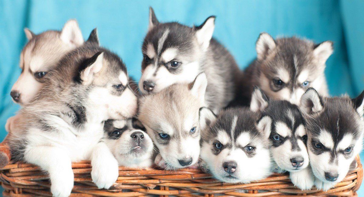Siberian Husky Puppies And Dogs For Sale Near You
