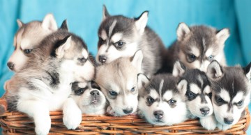 Siberian Husky puppies in a basket