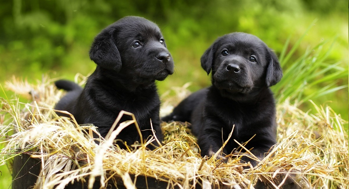 Two black Labradors enjoying the sun