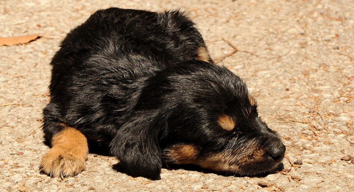 Very young Rottweiler puppy snoozing