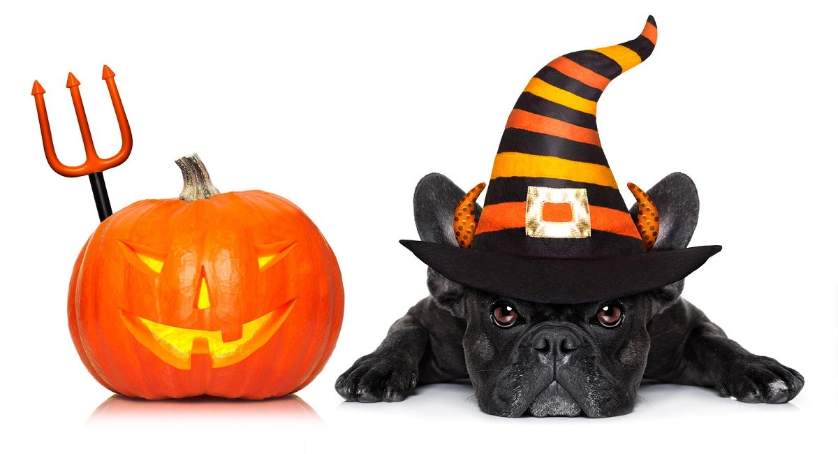French Bulldog puppy with Halloween pumpkin