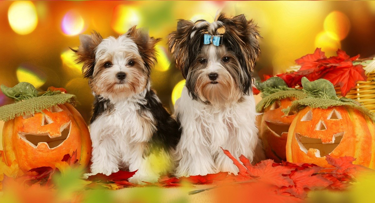 Yorkshire Terrier puppies with Halloween pumpkins