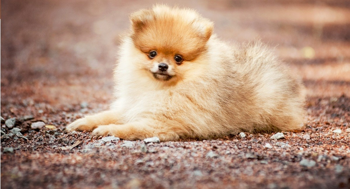 Pomeranian puppy lying down