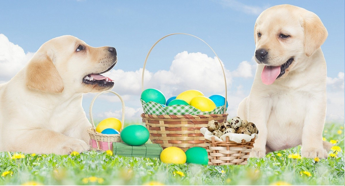 Labrador retriever puppies with Easter Eggs
