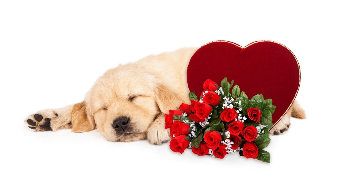 Golden Retriever puppy on Valentines Day