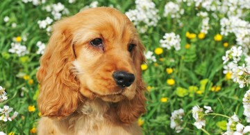 Red Cocker Spaniel puppy with soulful expression