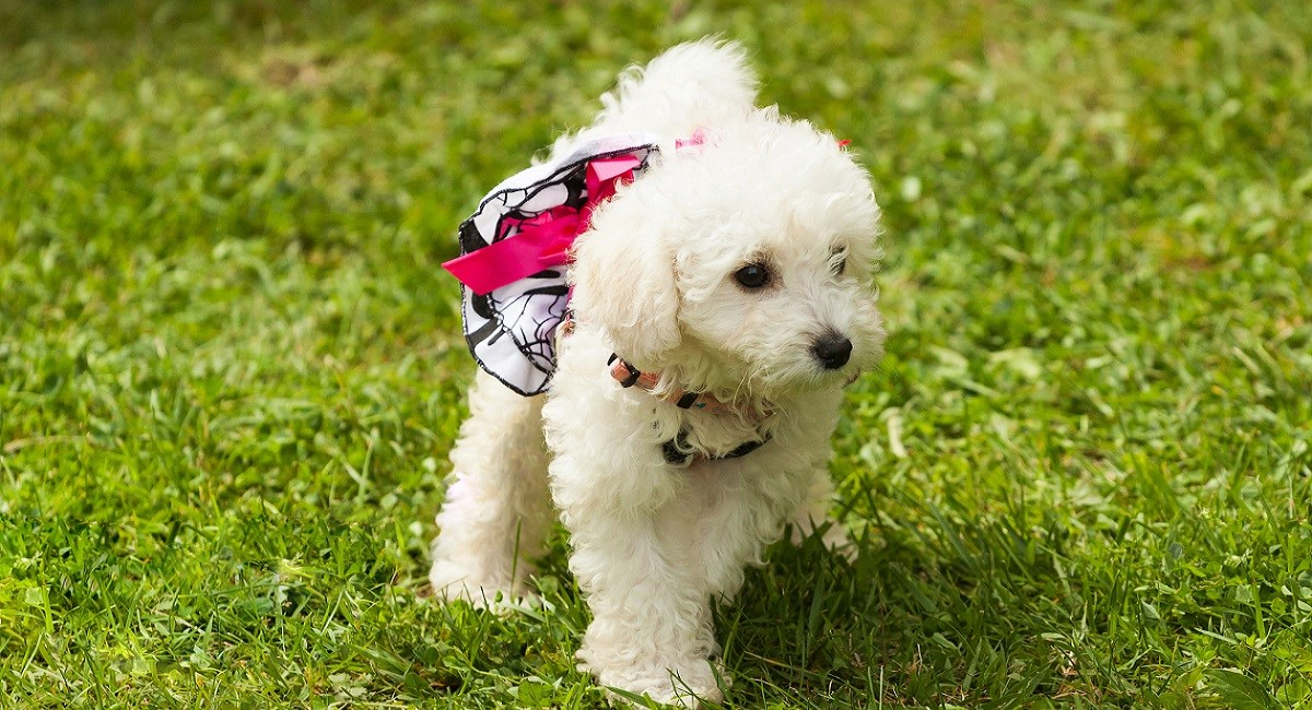 Cute white Poodle puppy on lawn