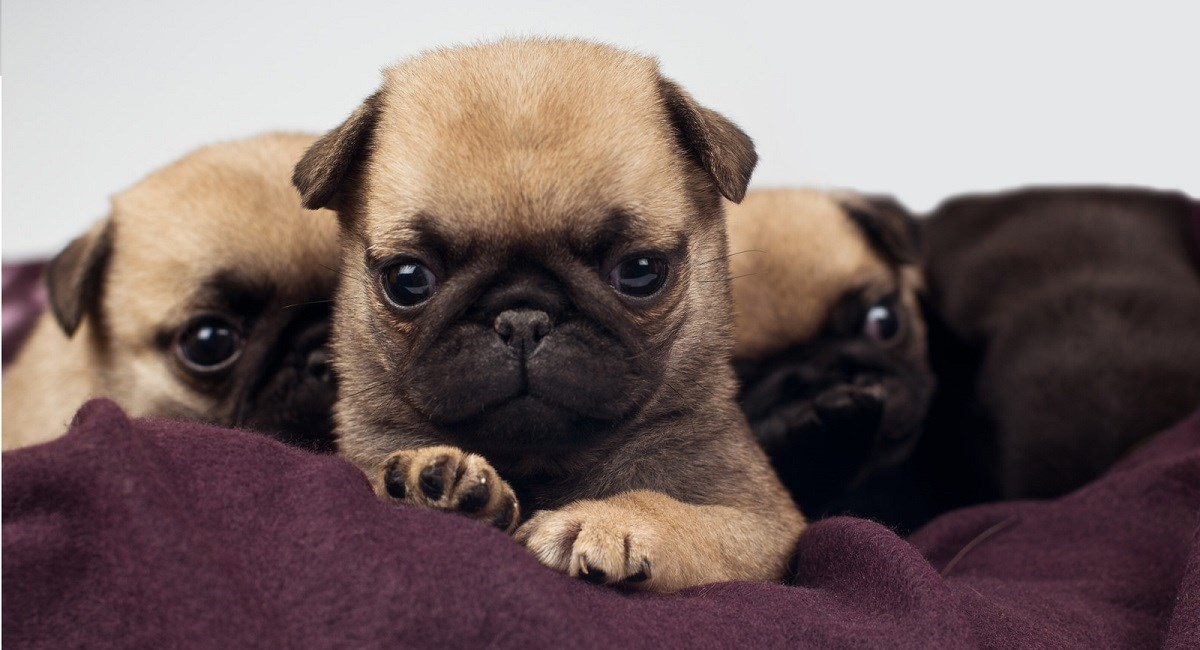 Three Pug puppies lying on purple pillow.