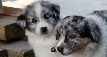 Two Australian Shepherd puppies - one chewing on a twig
