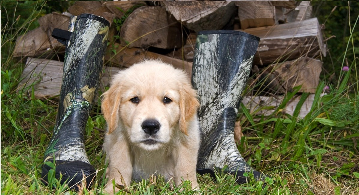 Golden Retriever puppy guarding a pair of boots and wood pile
