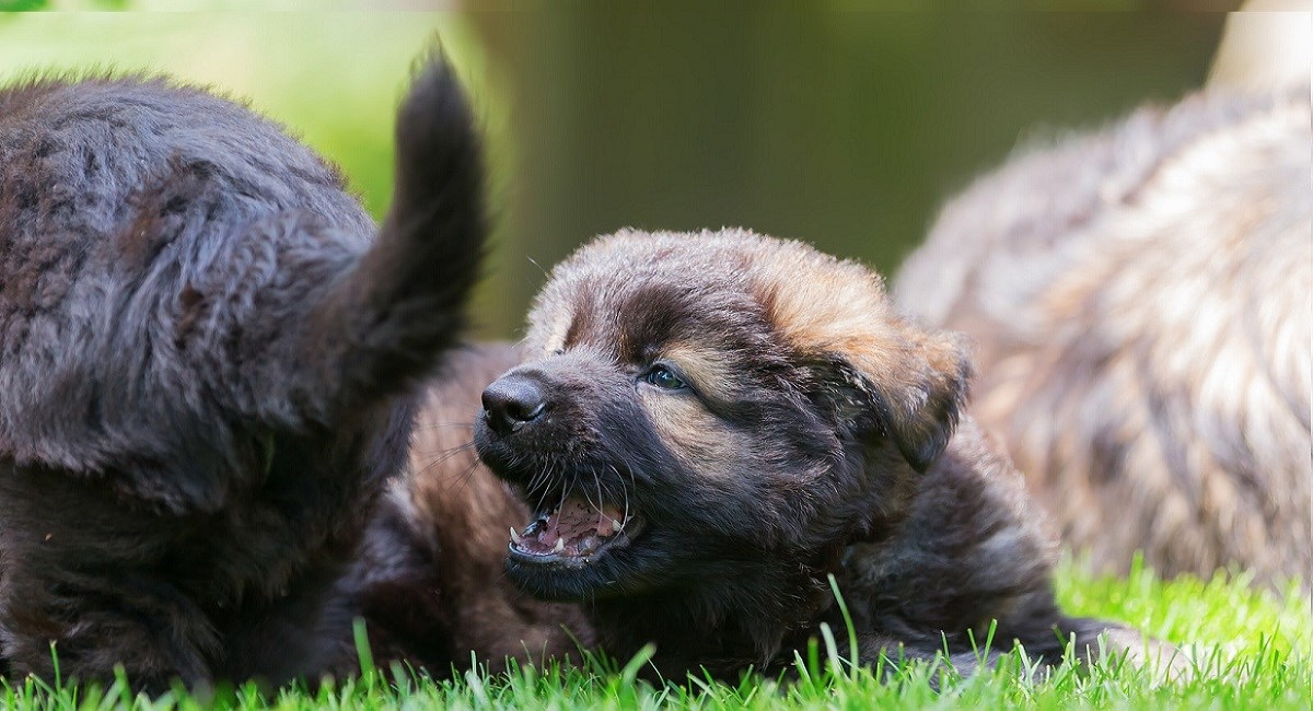 German Shepherd puppy lying on lawn