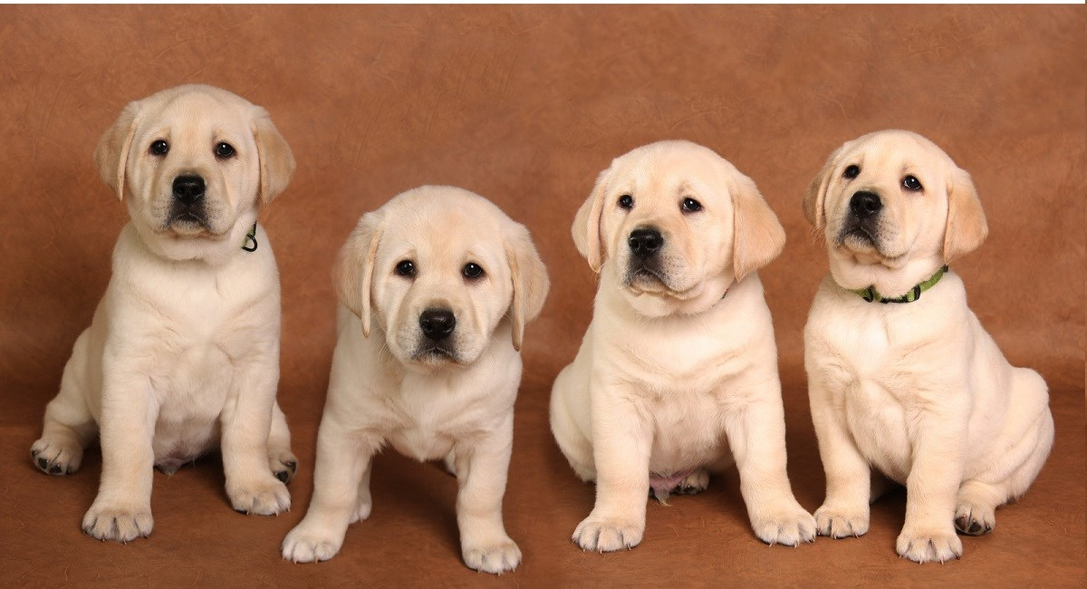 Four yellow labrador puppies