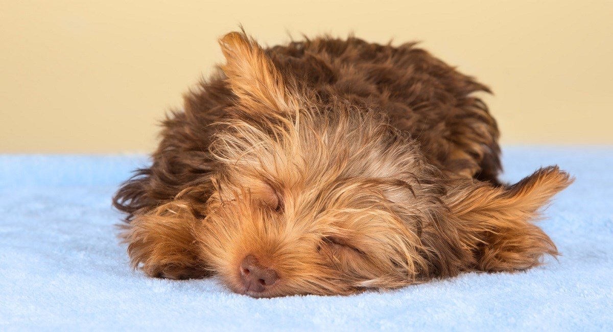 Yorkie puppy taking a nap.