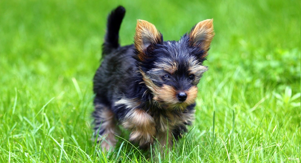 Yorkshire Terrier running through the grass