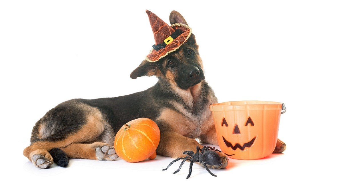German Shepherd with pumpkin and shalloween hat