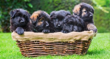 GSD puppies in a basket
