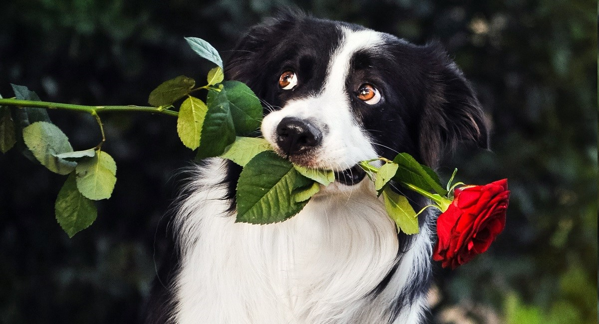 Border Collie gifting a red rose to his owner
