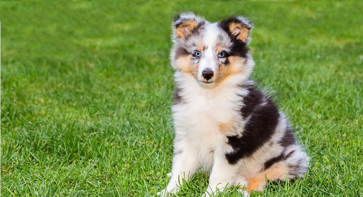 Merle Sheltie puppy with beautiful blue eyes