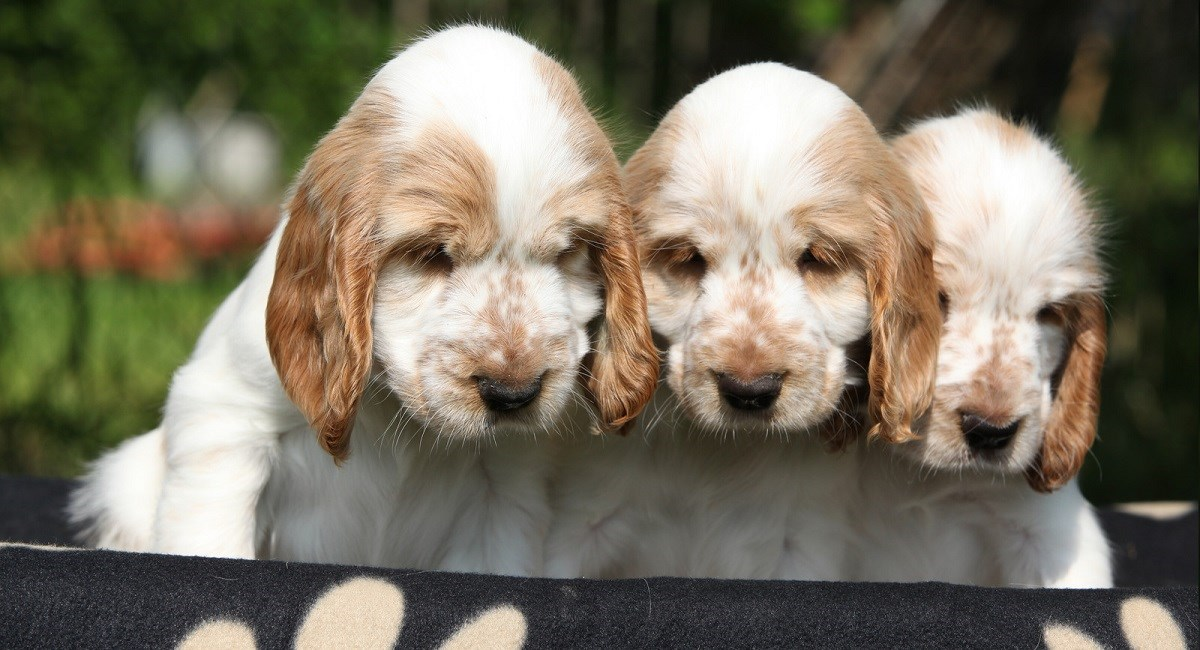 Three orange and white Cocker Spaniel puppies