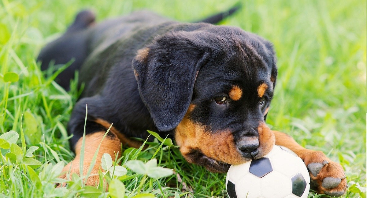 Rottweiler puppy guarding a ball