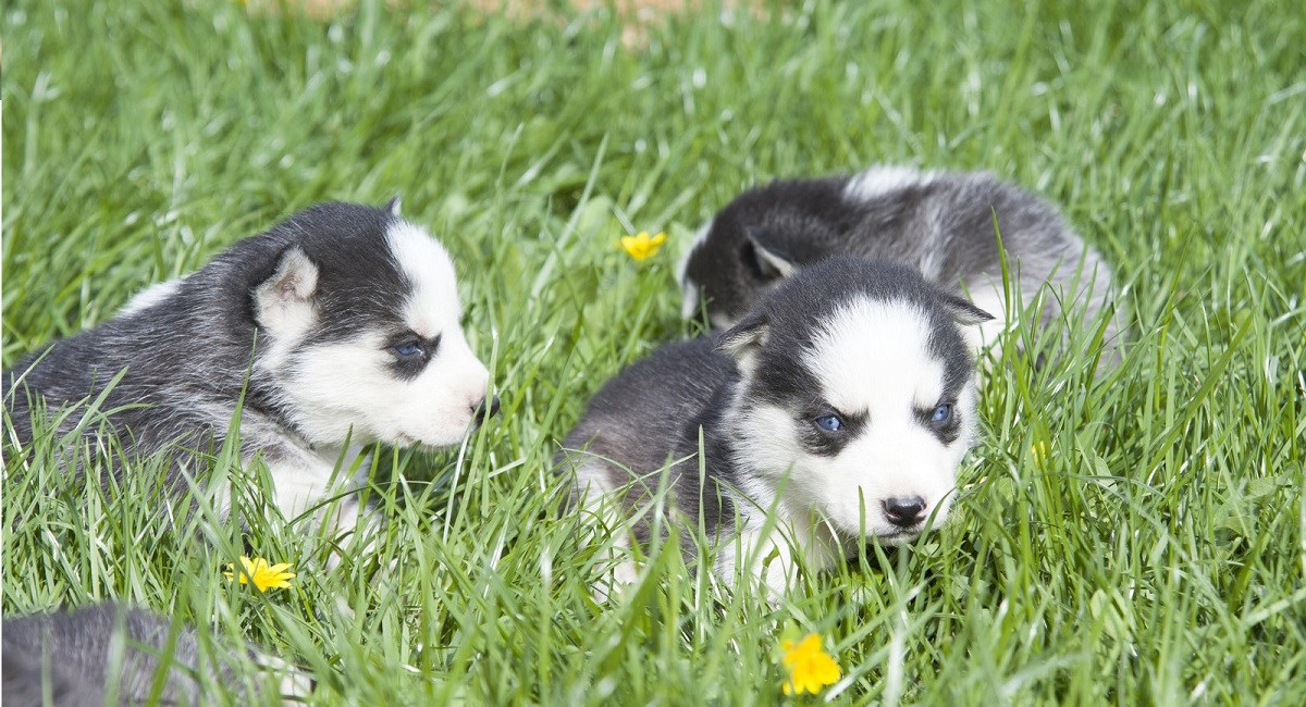 Husky puppies sitting in the grass