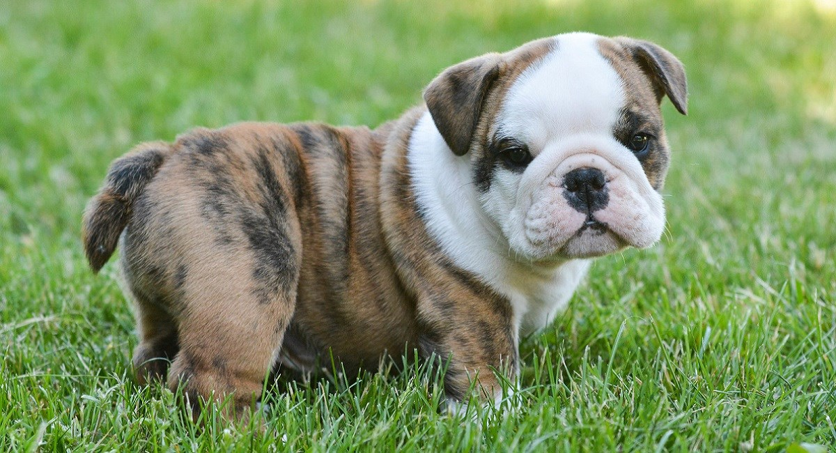 English Bulldog Puppy in a grass meadow