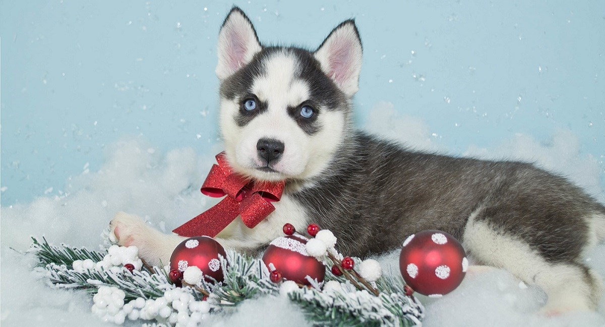 Siberian Husky puppy with xmas baubles