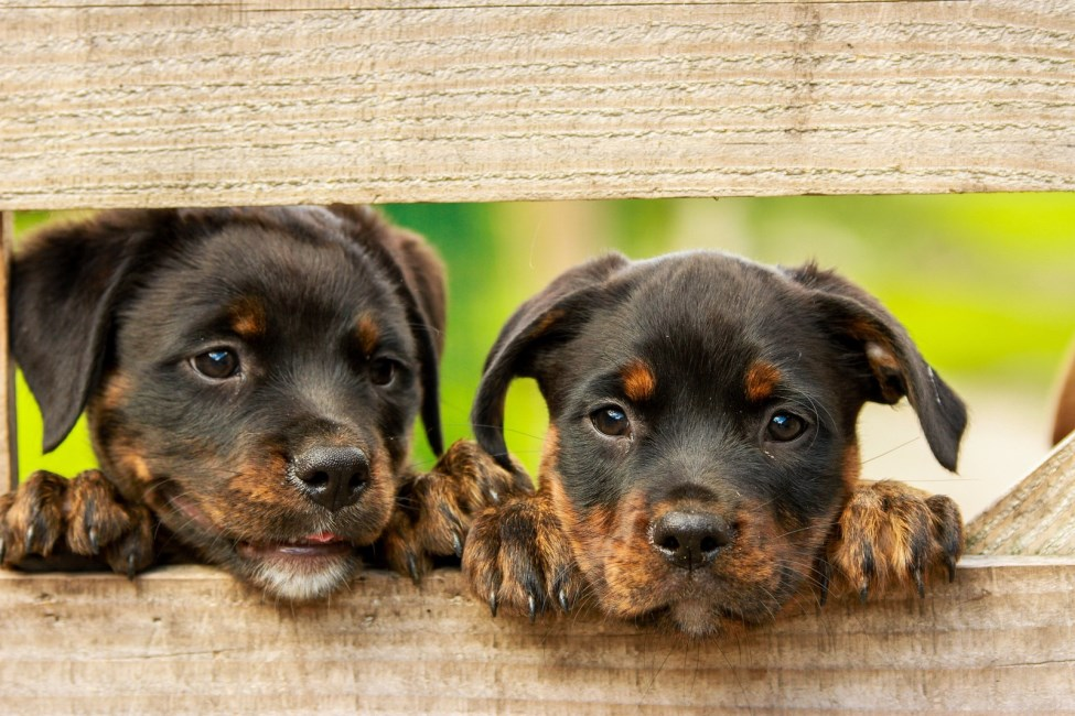 Two Rottweiler puppies looking through gap in gate