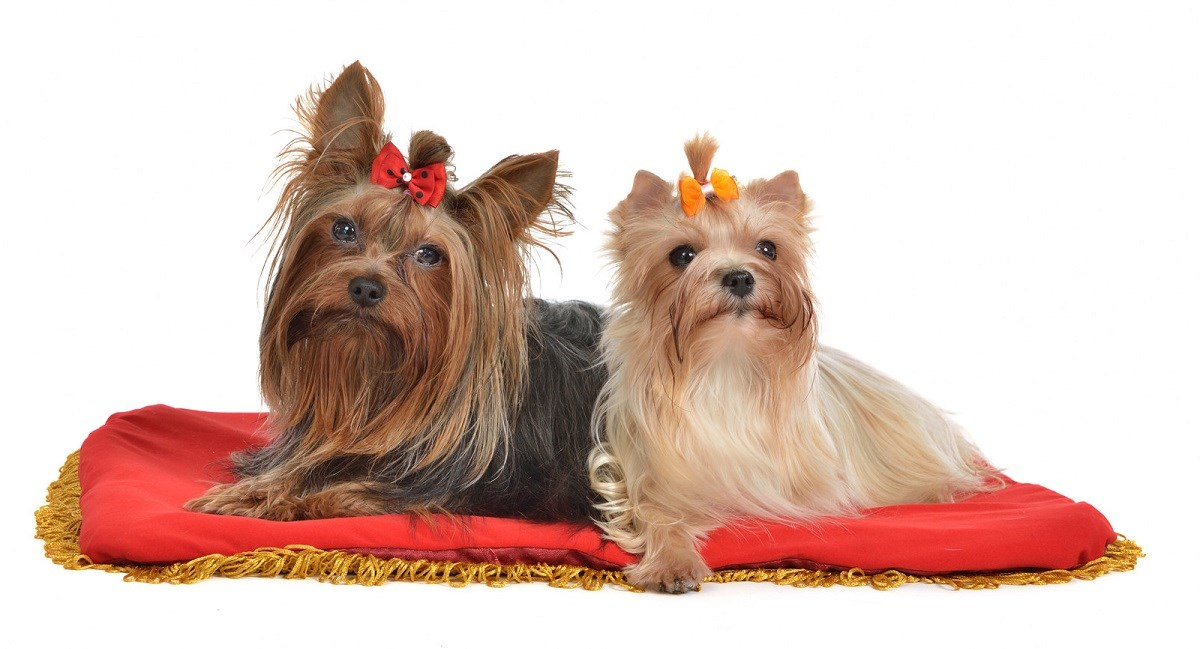 Yorkshire Terriers sitting on a velvet pillow