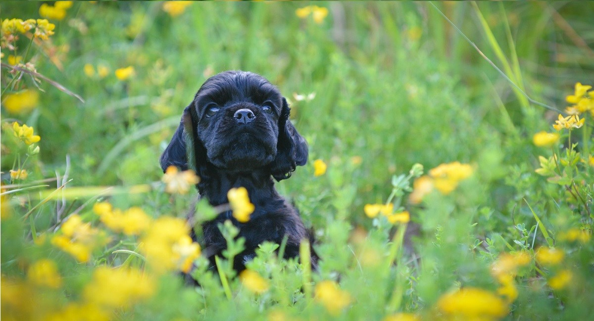 Black Cocker Spaniel puppy in a meadow