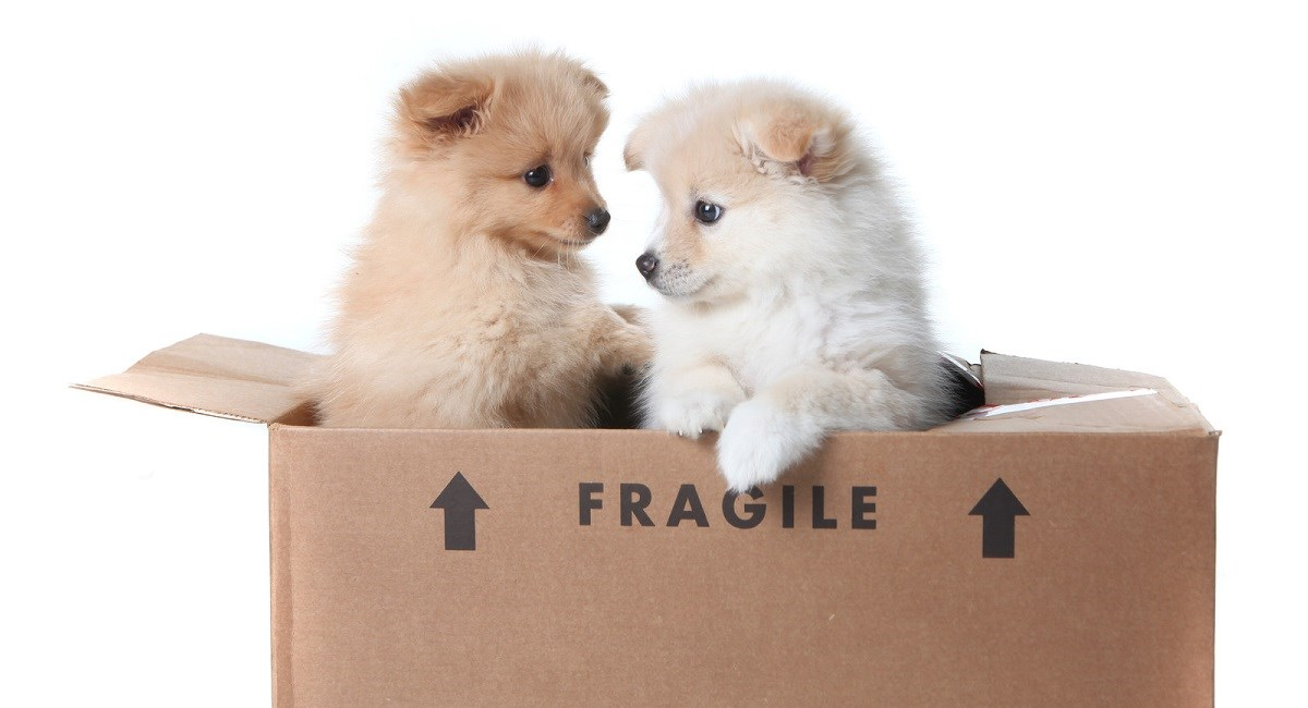 Two Pomeranian puppies in cardboard box